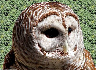 Barred Owl 2 Poster by Rose Santuci-Sofranko