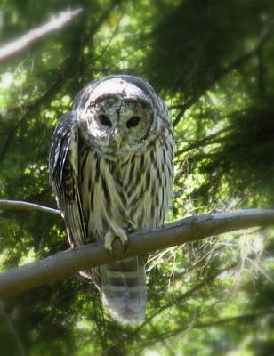 Barred Owl Poster by Brian Chase