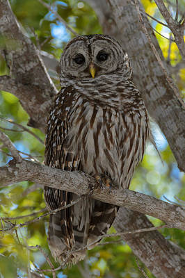 Barred Owl Poster by Charlie Choc