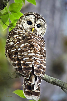 Barred Owl Poster by Christina Rollo