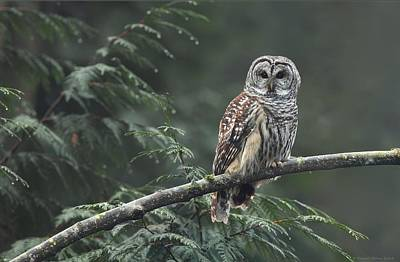 Barred Owl  Poster by Daniel Behm