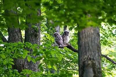 Barred Owl Fledgelings Poster by Dan Ferrin