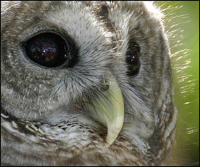 Poster featuring the photograph Barred Owl  by Geraldine Alexander