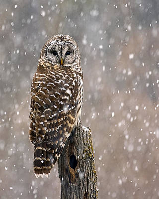 Barred Owl In A New England Snow Storm Poster