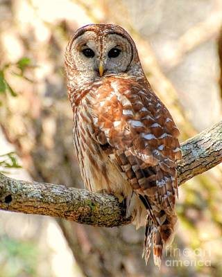 Poster featuring the photograph Barred Owl by Kathy Baccari