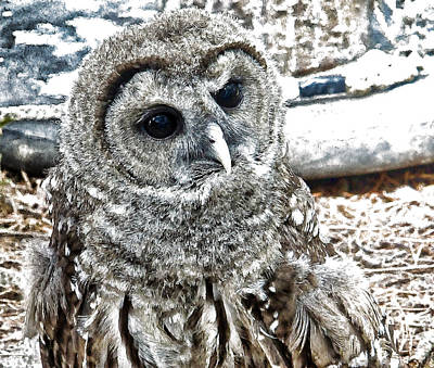 Poster featuring the photograph Barred Owl Photo Art by Constantine Gregory