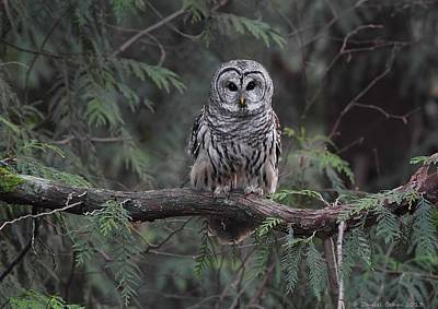 Barred Owl Stare Down Poster by Daniel Behm