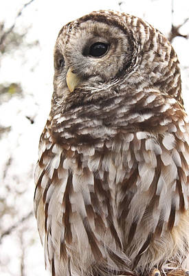 Poster featuring the photograph Barred Owl by Tammy Schneider