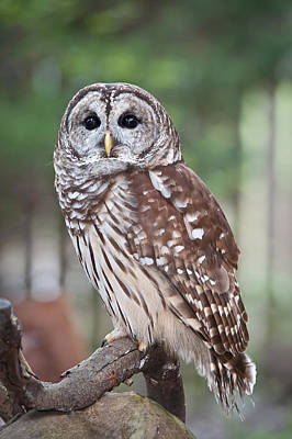 Poster featuring the photograph Barred Owl by Tyson and Kathy Smith