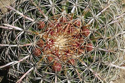 Barrel Cactus Poster by Ellen Henneke