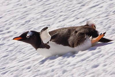 Barrientos Island, Antarctica Poster by Janet Muir