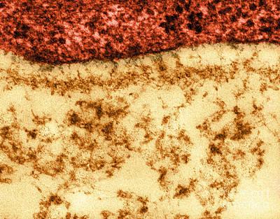Basement Membrane Layers, Tem Poster by Biophoto Associates