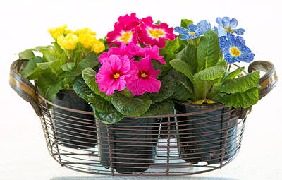 Basket Of Primroses Poster