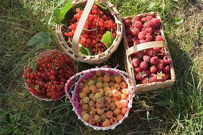 Baskets Of Freshly Picked Raspberries And Redcurrants Poster