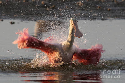 Bath Time - Roseate Spoonbill Poster