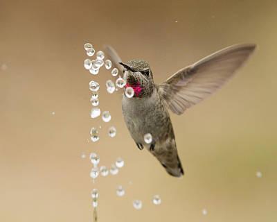 Bath Time For Anna's Hummingbird Poster by Doug Herr