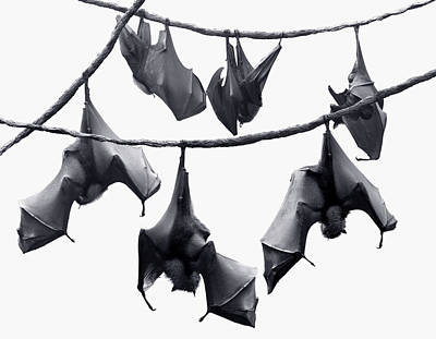 Bats Hangin' Out Poster by Edwin Verin