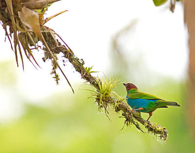 Bay-headed Tanager Poster by Brian Magnier