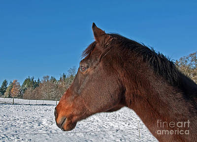 Bay Thoroughbred Horse Side View In Winter Poster