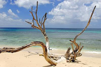 Beach Driftwood In Barbados Poster by Willie Harper