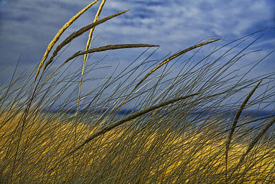 Beach Grass On A Sand Dune At Glen Arbor Michigan Poster