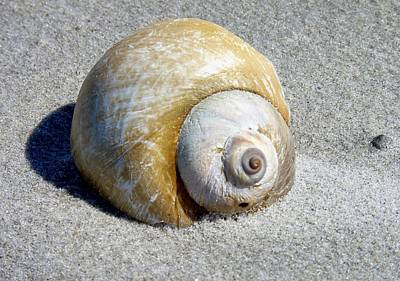 Beach Shell Poster by Janice Drew