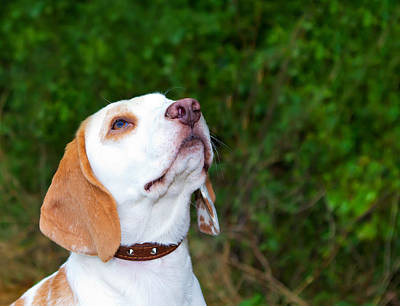 Beagle In A Field Looking Up Poster