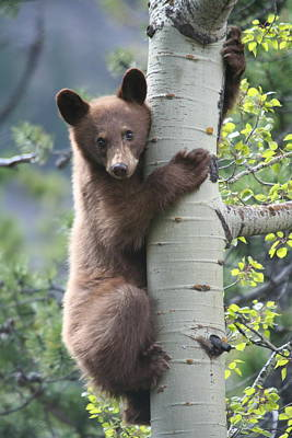 Bear Cub On Tree At Waterton Lakes National Park Poster by Jetson Nguyen