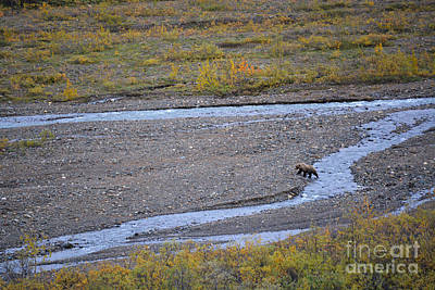Bear In Alaska Poster