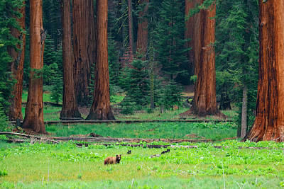 Bear In Sequoia National Park Poster