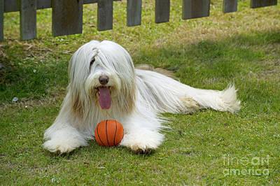 Bearded Collie Dog Poster by John Daniels