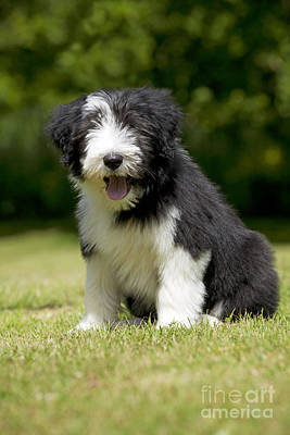 Bearded Collie Puppy Poster by John Daniels