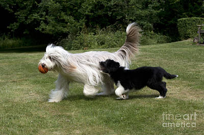 Bearded Collies Playing Poster