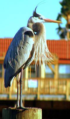 Poster featuring the photograph Bearded Great Blue Heron by Antonia Citrino