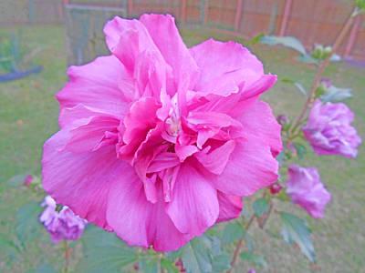 Beautiful Blooming Fuschia Rose Poster by Skyler Tipton