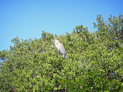 Beautiful Blue Heron Poster by Aimee L Maher Photography and Art Visit ALMGallerydotcom
