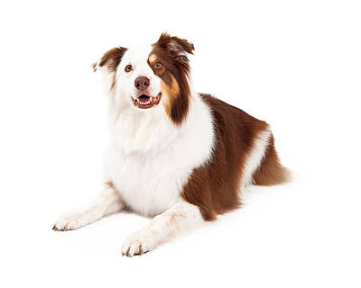 Beautiful Border Collie Laying Down Poster