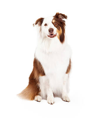 Beautiful Border Collie Sitting Poster
