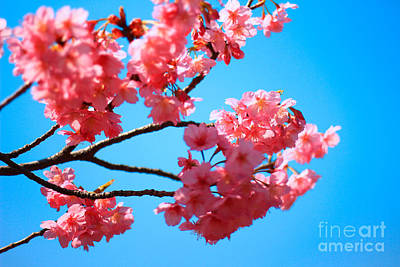 Beautiful Bright Pink Cherry Blossoms Against Blue Sky In Spring Poster
