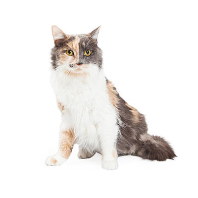 Beautiful Calico Cat Sitting Poster by Susan Schmitz
