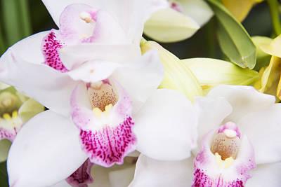 Beautiful Cattleya White Orchids Poster