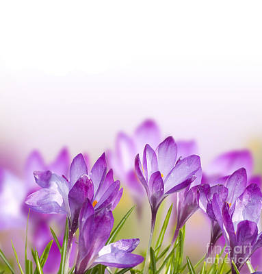 Beautiful Crocus Flower Poster by Boon Mee