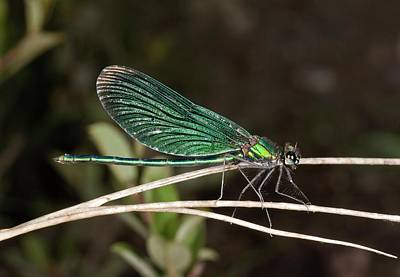 Beautiful Demoiselle Damselfly Poster