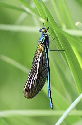 Beautiful Demoiselle Damselfly Poster by Science Photo Library