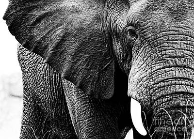 Beautiful Elephant Black And White 1 Poster by Boon Mee