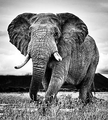 Beautiful Elephant Black And White 33 Poster by Boon Mee