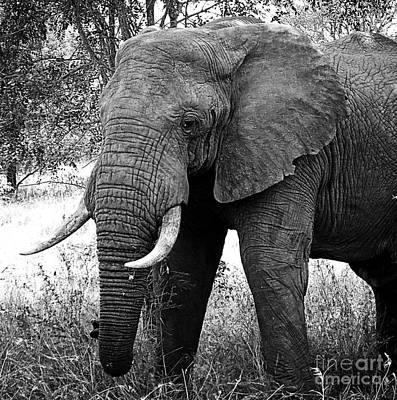 Beautiful Elephant Black And White 59 Poster by Boon Mee