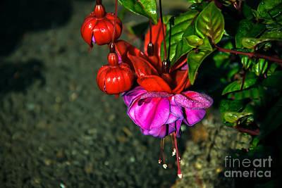 Beautiful Fuchsia Poster by Robert Bales