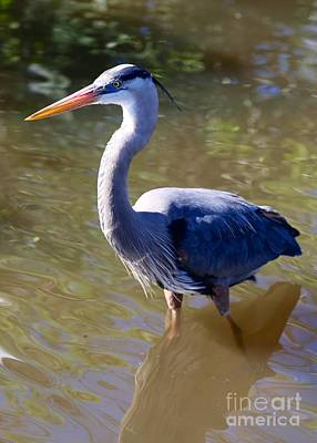 Beautiful Great Blue Heron In Swamp Poster by Carol Groenen