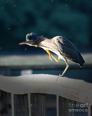 Poster featuring the photograph Beautiful Green Heron by Anita Oakley